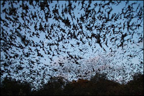Bat Flight, Carlsbad Caverns, Photo credit nps.gov