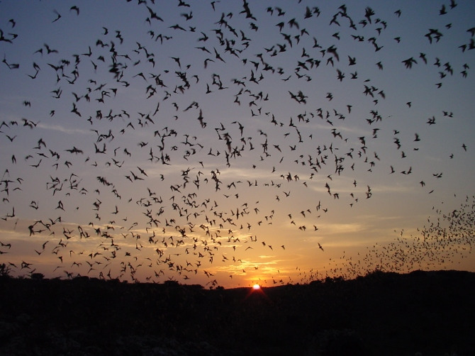 Bat Flight, Carlsbad Caverns, Photo credit nps.gov